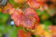 Fall Leaf Up Close With Raindrops