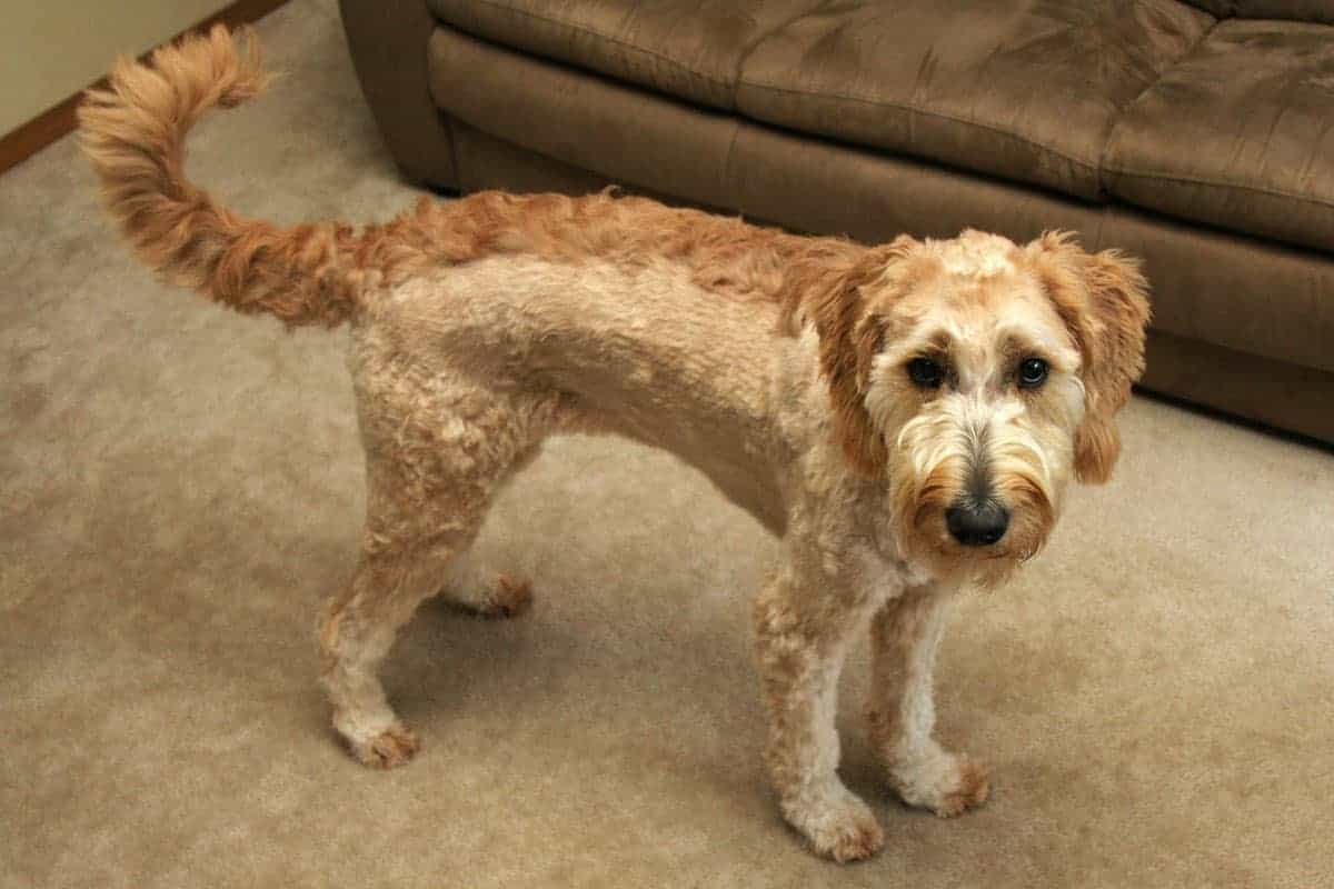 Goldendoodle With Mohawk