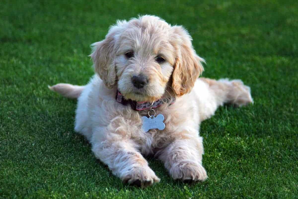 Goldendoodle Puppy Doing Tricks
